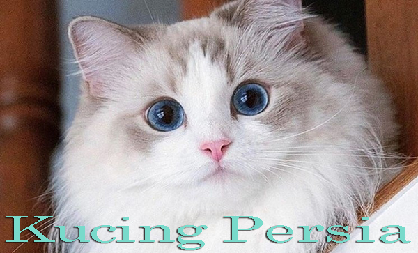 Cara Memelihara Kucing Persia