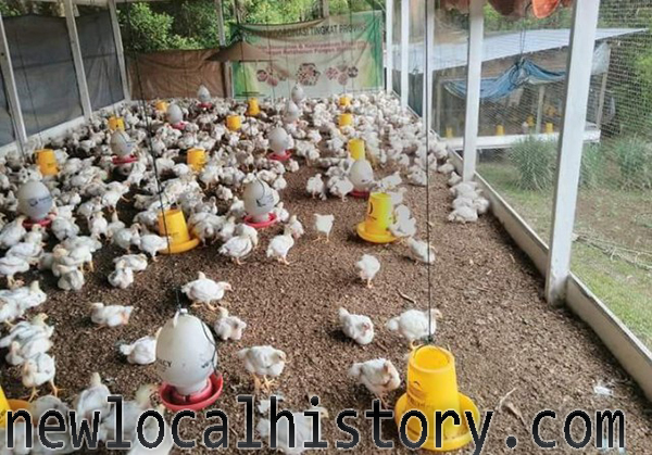 Cara Ternak Ayam Potong Cepat Panen