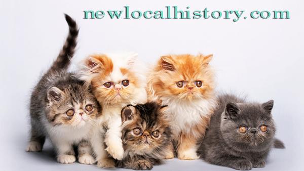Tips Cara Memelihara Kucing Persia