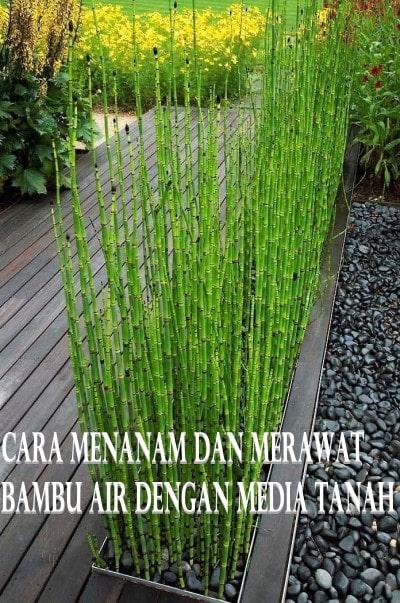 Cara Menanam dan Merawat Bambu Air Dengan Media Tanah